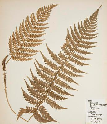 Black shield fern (Polystichum neozelandicum)
