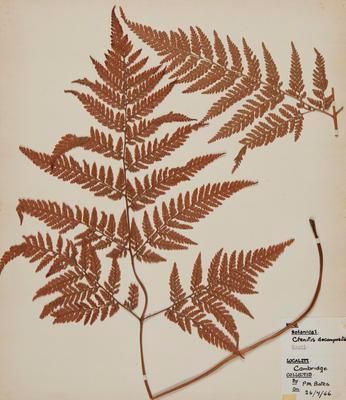 Creeping shield fern (Lastreopsis microsora subsp. pentangularis)