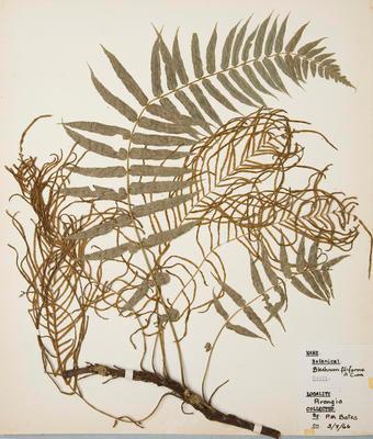 Thread fern (Blechnum filiforme)