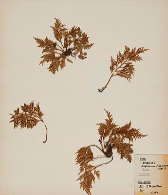 Hanging spleenwort (Asplenium flaccidum)