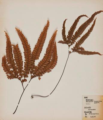Rosy maidenfair fern (Adiantum hispidulum)