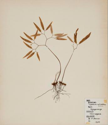 Mangemange (Lygodium articulatuna)