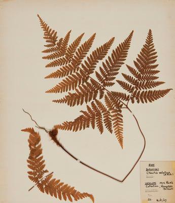 Velvet fern (Lastreopsis velutina)