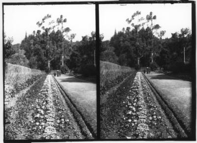 Glass plate negative – stereoview of garden