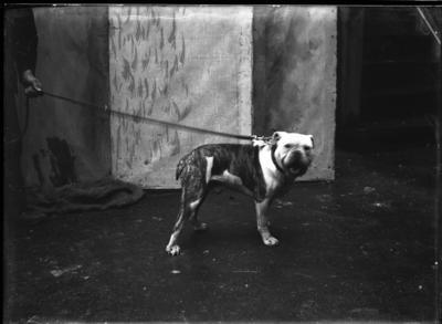 Glass plate negative – dog