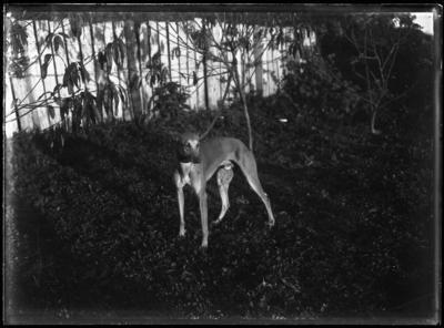 Glass plate negative – greyhound