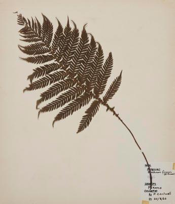 Miniature tree fern (Blechnum fraseri)