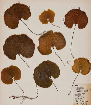 Kidney fern (Trichomanes reniforme)