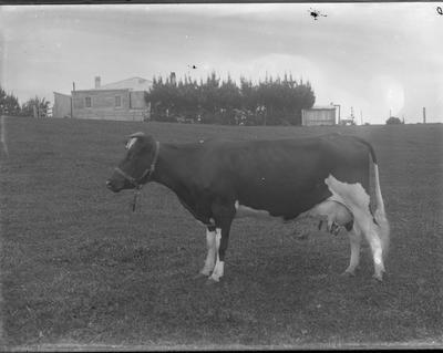 Glass plate negative [Cow]