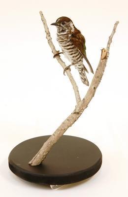 Nakonako / shining cuckoo (Chrysococcyx lucidus)