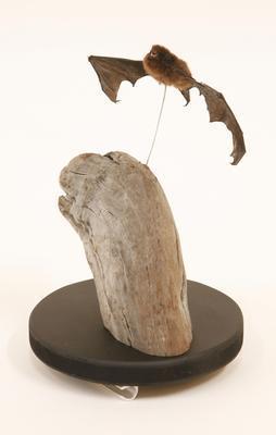 Pekapeka-tou-roa / long-tailed bat (Chalinolobus tuberculatus)