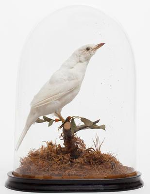 Manu pango / leucistic blackbird