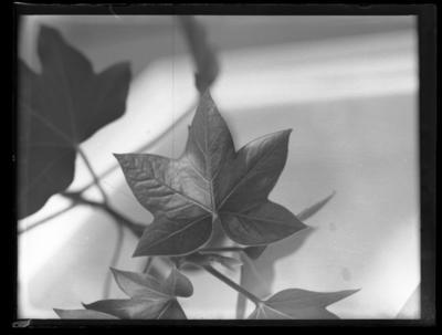 Glass plate negative – leaves