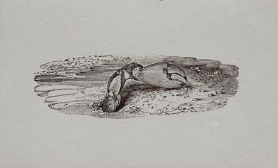 [Claw part, on beach] Tailpiece to Brown Sandpiper, History of British Birds Vol II (6th)