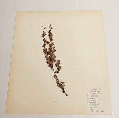 Kanuka (Kunzea ericoides)