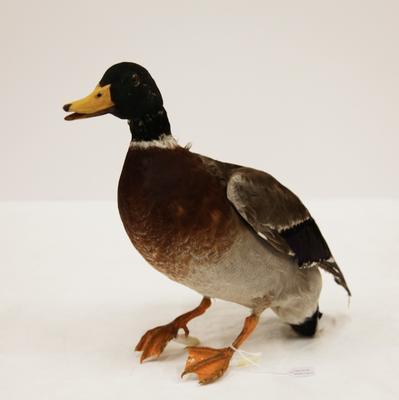 Rakiraki / mallard duck (Anas platyrhynchos)