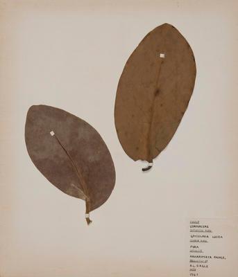 Akapuka (Griselinia lucidia)