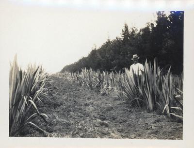 Photograph - flaxgrowing at Gordonton or Tauhei