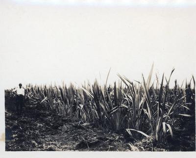 Photograph - flaxgrowing at Gordonton or Tauhei?