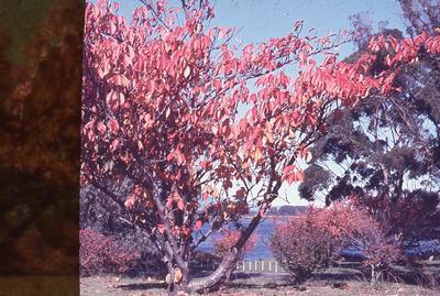Slide - Cherry trees at Hamilton Lake; Tom Bryce; Allen Bryce; Apr 1966; 2003/16/41