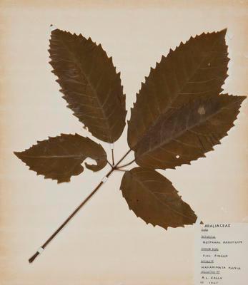 Five-finger fern (Pseudopanax arboreum)