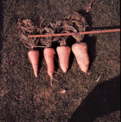 Slide - carrots.