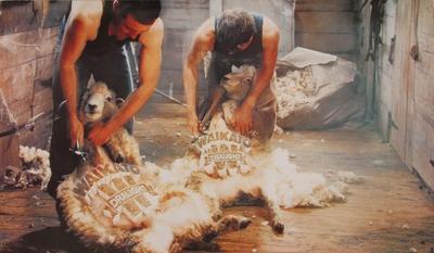Waikato Draught poster – shearing sheep