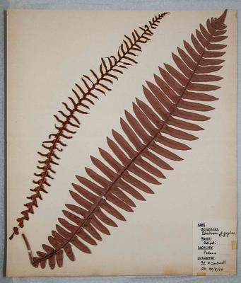 Crown fern (Blechnum discolon)