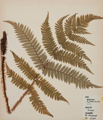 Soft tree fern (Cyathea smithii)
