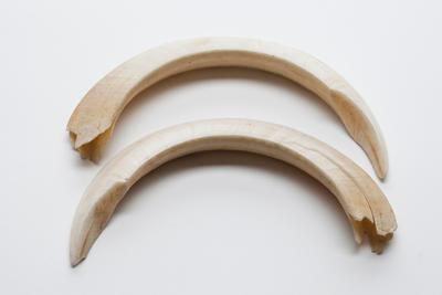 Wild pig tusks