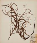 Peretao (Blechnum colensoi)