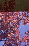Slide - Cherry tree at Hamilton Lake
